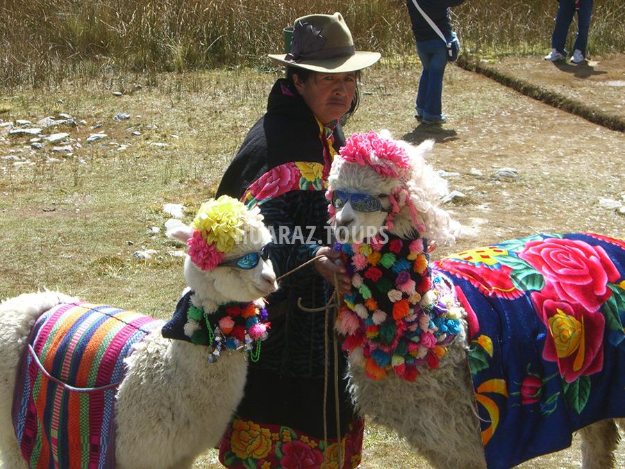 Alpaca en Pastoruri